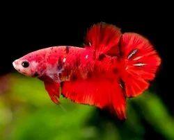 Nemo Candy Betta Fish