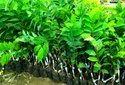 Custard apple plants
