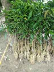 Mango Kesar Happos Plant