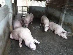 White Large Pregnant Female Pigs