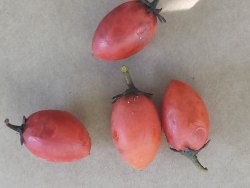 B Grade Fresh tamarillo fruit, Packaging Type: Plastic Bag, Packaging Size: 5 Kg