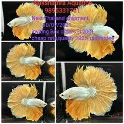Mixed Colours Thailand Imported Betta, Minimum 1000 Piece, 2 Year, Size: 6cm