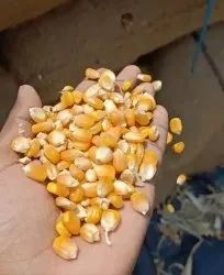 Dry Maize, High in Protein