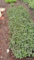 Tulas Plant