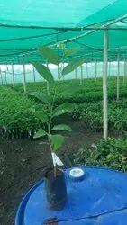 Custterd Apple Plant