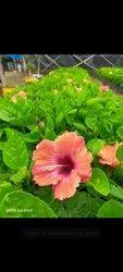 Hibiscus Pink Flower Plants