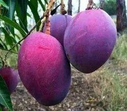 Red Palmar Mango Plant