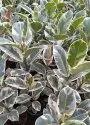 Croton Garden Plant