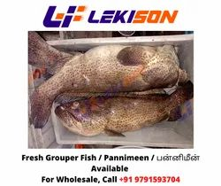 Grouper Fish, Packaging Type: Thermocol, Size: Above 2kg