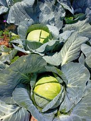 Green A Grade Fresh Cabbage, P p bag