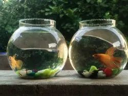 Natural Gold beta pair fish, 3years, Size: 3 Inches