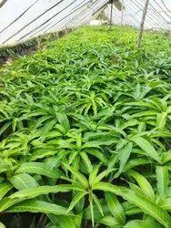 Green Keshar Mango plant