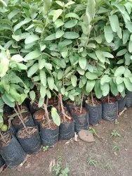 Guava Plants (Peru)