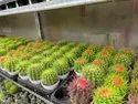 Indoor Cactus Plant