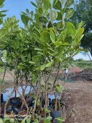 Kaju Fruit Plant