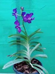 Plant White Orchids