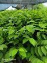 Super golden Custard Apple Plant