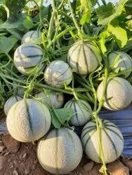 Rani 09 Hybrid Muskmleon Seeds, For Agriculture, Packaging Size: 50 Gms