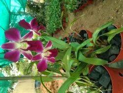 Plants Purple Orchid Dendrobium