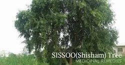 Shisham Extract