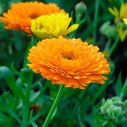 Calendula Officinalis Extacts