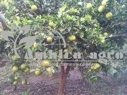 MOSAMBI FRUITS PLANTS