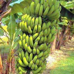 A Grade Fresh Banana