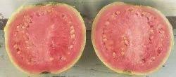 Keshav Guava Tissue Culture Plant