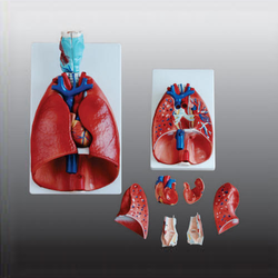 Larynx-Heart and Lungs Model