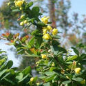 Berberis Aristata