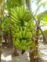 Loose Banana