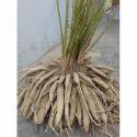 Herbal Shatavari Roots