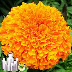 Marigold Absolute Oil