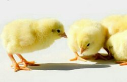 Vanraja Chicks at Rs 30 /unit   ब्रायलर मुर्गियां