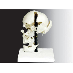 Disarticulated Skull Model