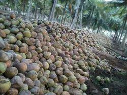 B Grade Husked Coconut, Tamil Nadu