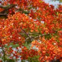 Gulmahor Tree