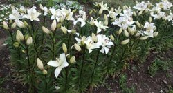 White Fresh Lily Flowers