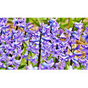 Hyacinth  Flower Oils