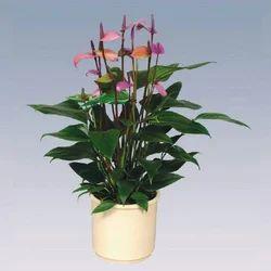 Fiorino Anthurium Pot Plant