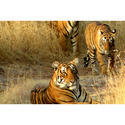 The Tiger Land Of Central India Tours