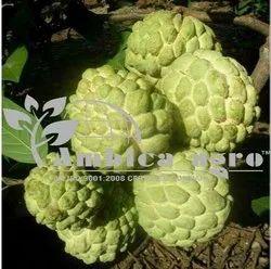 Thai Kg Custerd Apple Plants