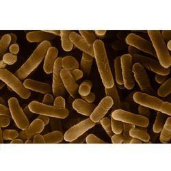 Bacillus Species