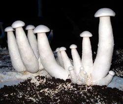 Mushroom Milky
