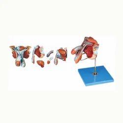 Male Genital Organs Model