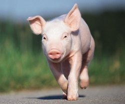 Middle Large White Yorkshire Female Piglet