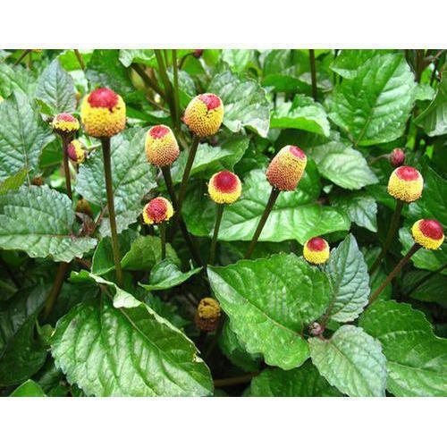 Herbal Plants - Kalmegh - Andrographis Paniculata - Manufacturer