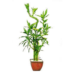 7 Stalk Curly Bamboo Plant