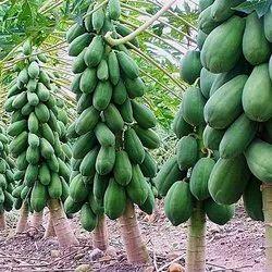 Taiwan 786 Papaya Plant