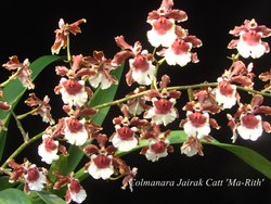 natural plant mixed colours Oncidium Orchid